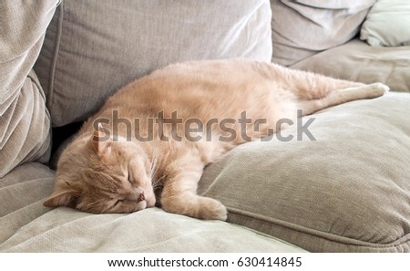 British shorthair tomcat lying on the couch
