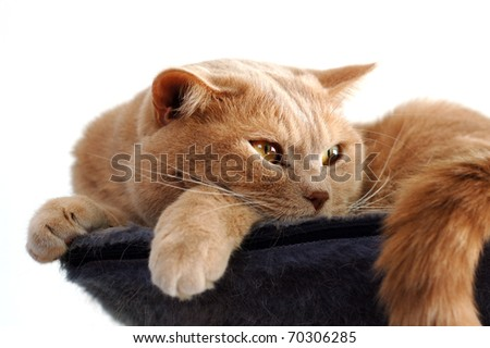British shorthair tomcat on his resting place - stock photo