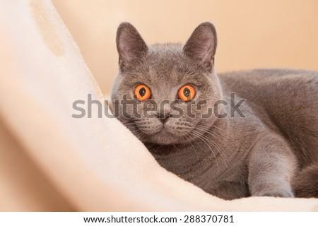 british shorthaired cat with amazing hypnotoic orange eyes - stock photo
