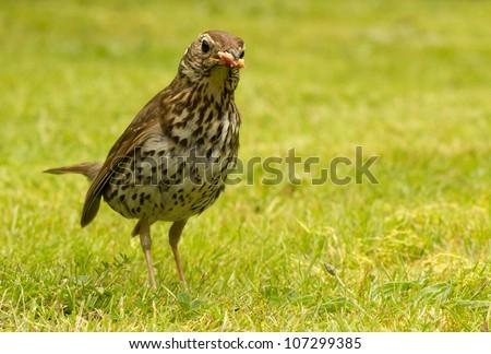 British Song Thrush (Turdus philomelos) with bread in its beak. - stock photo
