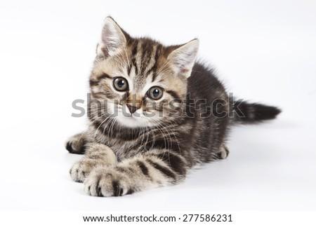British tabby kitten isolated on white - stock photo
