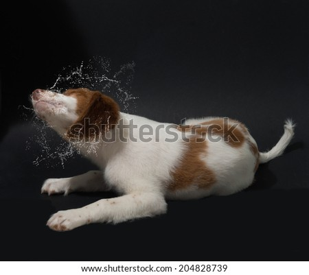 brittany puppy shaking its head after having a bath - stock photo