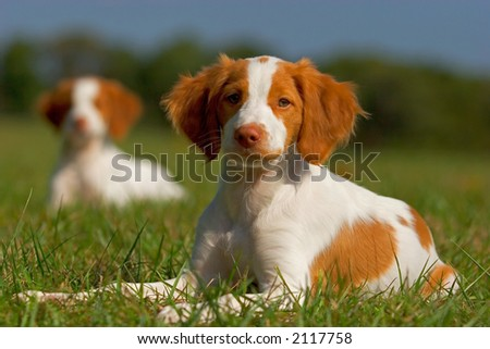 Brittany Spaniel Puppies - stock photo