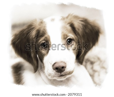 Brittany Spaniel Puppy - stock photo