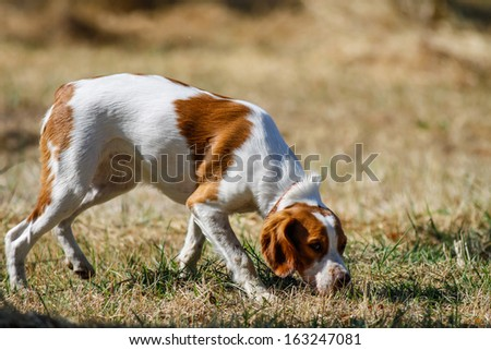 Brittany spaniel, young hunting dog sniffing  - stock photo