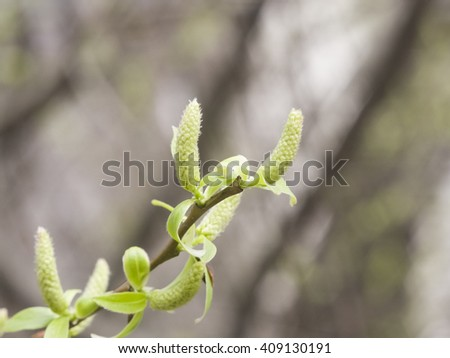 Brittle willow, Salix fragilis, blossom in spring with bokeh background, selective focus, shallow DOF