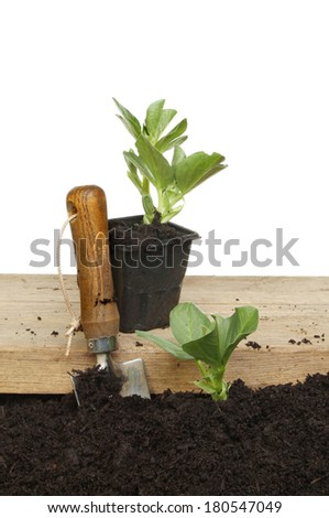 Broad bean plants in a pot on a wooden board and planted in soil with a garden trowel