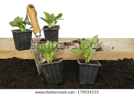 Broad bean plants on a wooden board and placed on soil with a garden trowel