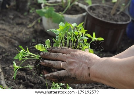 broad bean seedling in the garden in country side - stock photo