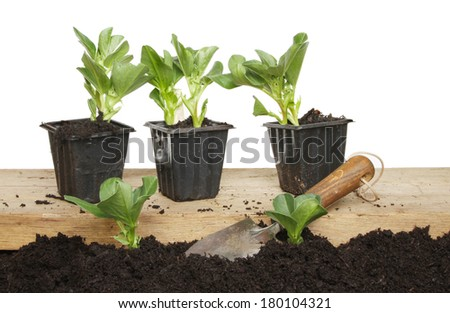 Broad bean seedlings planted in soil and in pots on a wooden board with a garden trowel against a white background