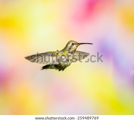 Broad Billed Humming Bird. these photos are a result of getting to know hummingbirds and adding an artistic background. Basically hummingbird art, that are not superimposed in anyway.