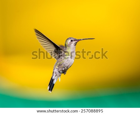 Broad Billed Hummingbird, female.