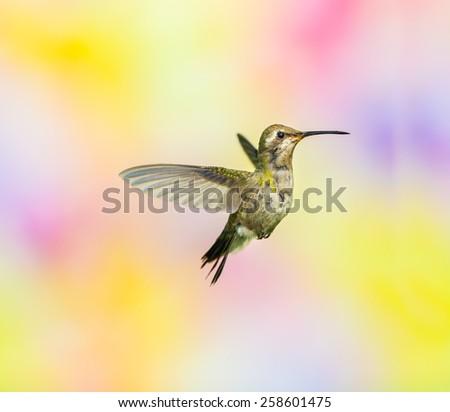 Broad Billed Hummingbird, female. - stock photo