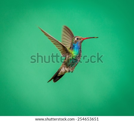Broad Billed Hummingbird hovering for the camera while guarding its territory. These birds are native in Mexico and supply a splash of color to the already colorful gardens. This is artist material. - stock photo