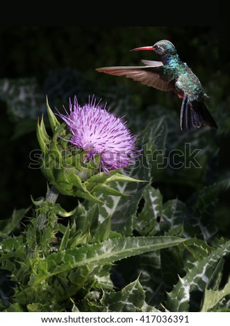 Broad-Billed Hummingbird Hovers Over a Pink Thistle Blossom - stock photo