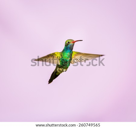 Broad Billed Hummingbird. Part of my new hummingbird art collection using different patterned material in the background to create a one of a kind image. In the coming weeks new backgrounds available.