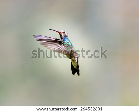 Broad Billed Hummingbird. Part of my new hummingbird art collection using different patterned material in the background to create a one of a kind image. In the coming weeks new backgrounds available. - stock photo