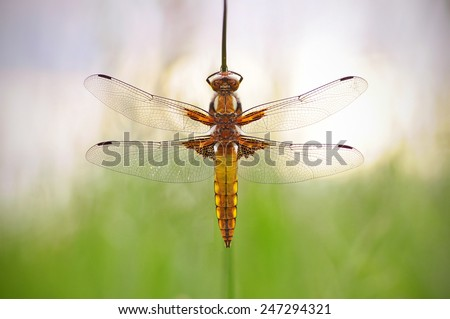 Broad-bodied chaser - stock photo