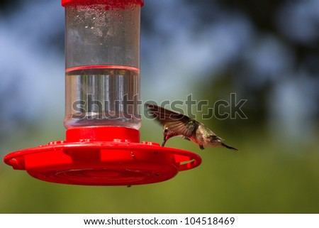 Broad-tailed Hummingbird drinks from a campground feeder at Capitol Reef National Park in Utah - stock photo