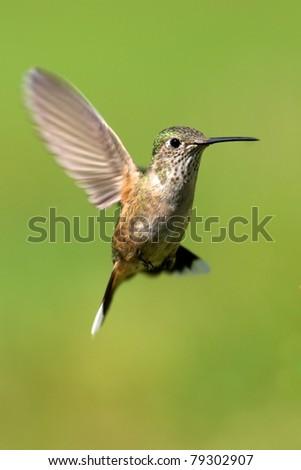 Broad-tailed hummingbird female - stock photo