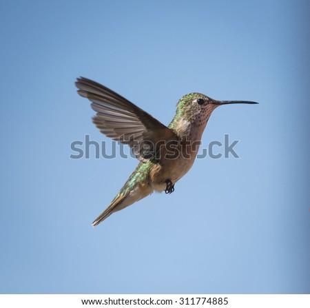 Broad-tailed Hummingbird in Flight - stock photo