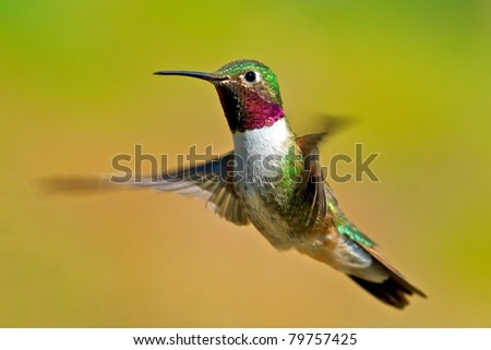 Broad-tailed hummingbird male in flight - stock photo