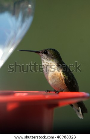 Broad-tailed Hummingbird on feeder perch - stock photo