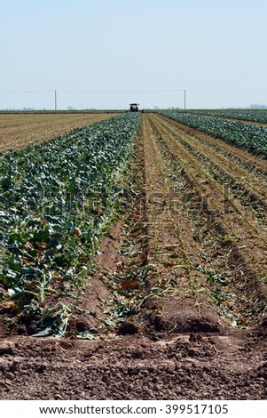 Broccoli field being cut. - stock photo