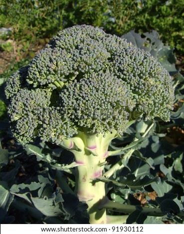 Broccoli Growing in Vegetable Garden - stock photo