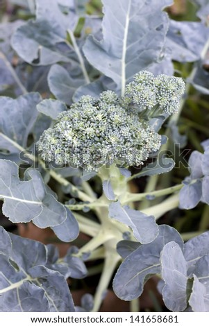 broccoli plant with flower growing - stock photo