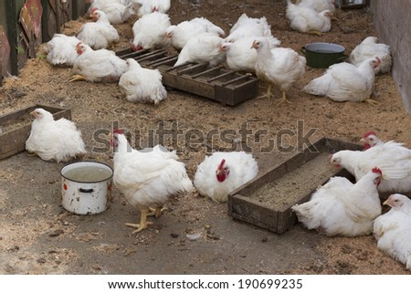 Broiler chickens breed at farm yard. - stock photo