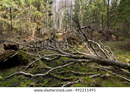 Broken birch tree lying in spring, Bialowieza Forest, Poland, Europe