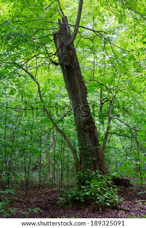 Broken linden tree still alive against juvenile stand in summer - stock photo