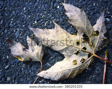 broken maple leaves fall down on the ground , Autumn and Winter, UK, Europe , November - stock photo