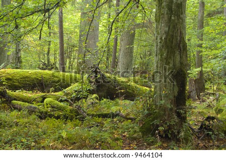 Broken oak lying on forest bottom wrapped by moss,middle europe,poland,bialowieza forest
