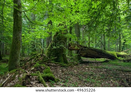 Broken old oak lying and dead wood in foreground and summertime deciduous stand - stock photo