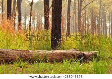 Broken pine tree in forest  - stock photo