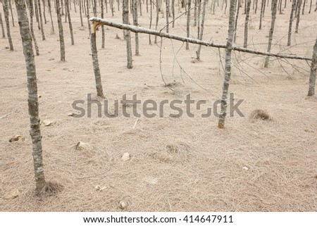 Broken pine Tree in the pine Forest - stock photo