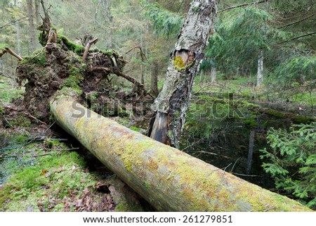Broken pine tree trynk lying next to old birch with water in background - stock photo