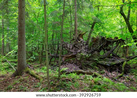 Broken tree roots partly declined against fresh green deciduous stand in mist rain after,Bialowieza Forest,Poland,Europe - stock photo