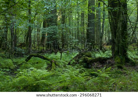 Broken tree stump moss covered and ferns layer above them in springtime, Bialowieza Forest,Poland,Europe - stock photo