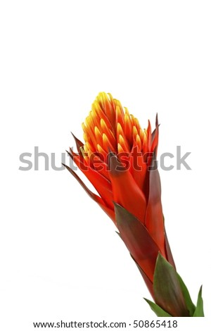 Bromelia isolated on white background