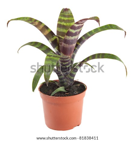 bromelia south american plant lives in tropical rain forest of amazon jungle and is often kept as a pot plant - stock photo