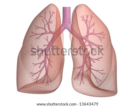 bronchi - stock photo