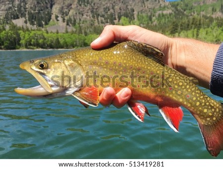 Brook Trout, Salvelinus fontinalis, caught on a fly rod in a high mountain lake, being held prior to release