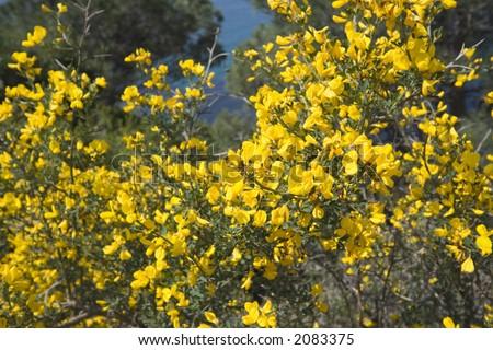 broom in the mediterranean macchia - shallow DOF - french riviera - stock photo