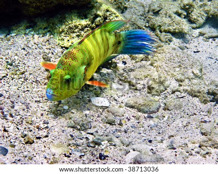 Broomtail wrasse female - stock photo