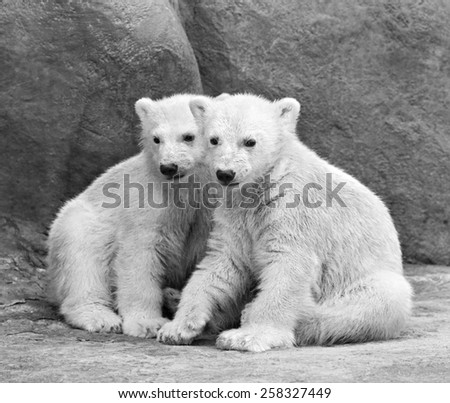 Brotherhood of polar bear cubs. Black and white closeup portrait. Beautiful children, which will be the most dangerous beasts of Arctic.  - stock photo
