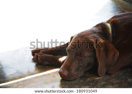 Brow Labrador puppy sleeping the day away in a door opening with the sun shining in. Perfect for a postcard, editorial or invitation with space to write in the picture. Man's best friend and companion - stock photo
