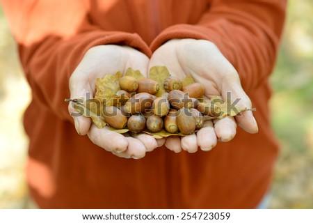 Brown Acorns in the hands in autumn - stock photo